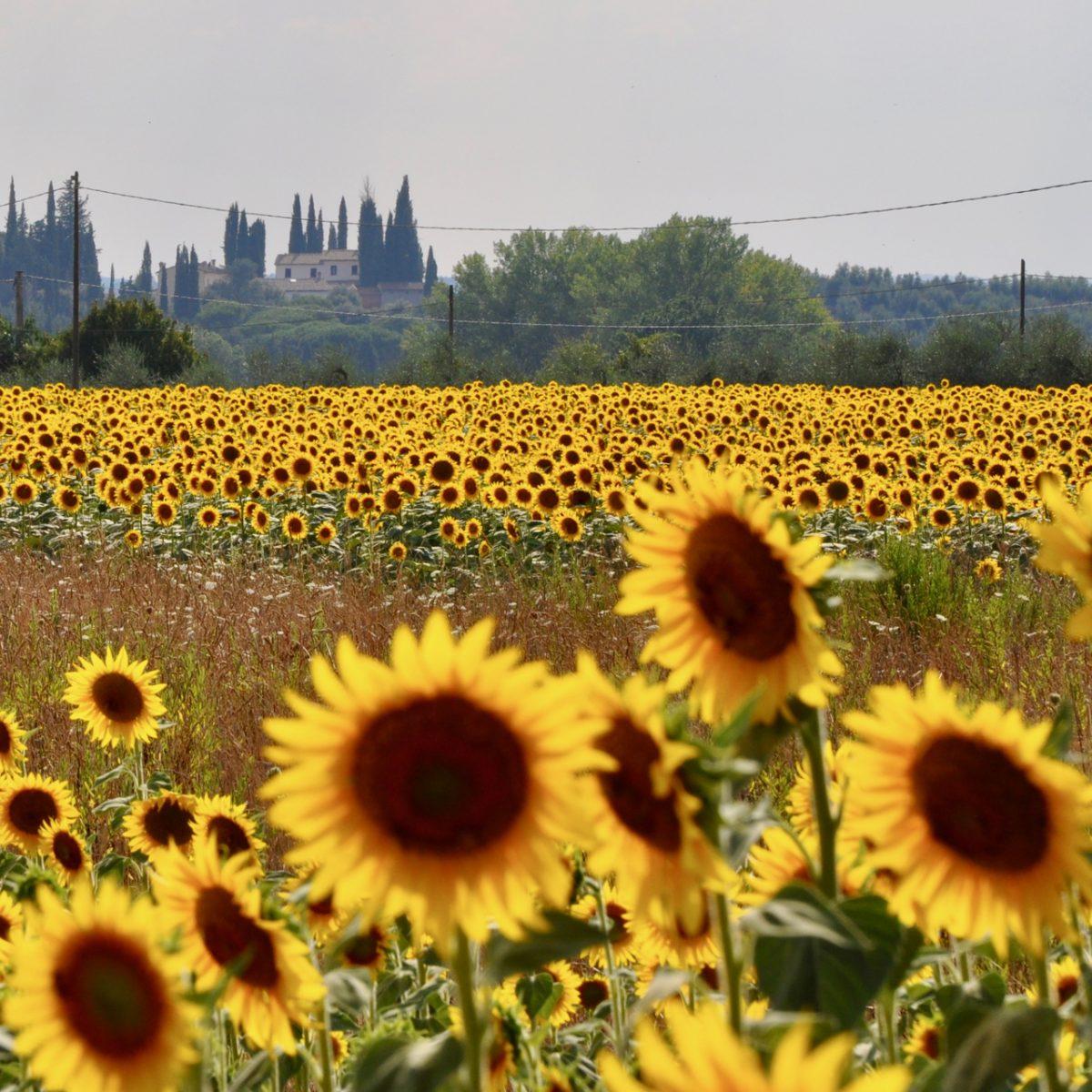 Ein Feld mit Sonnenblumen und Zypressen in Umbrien Umbria