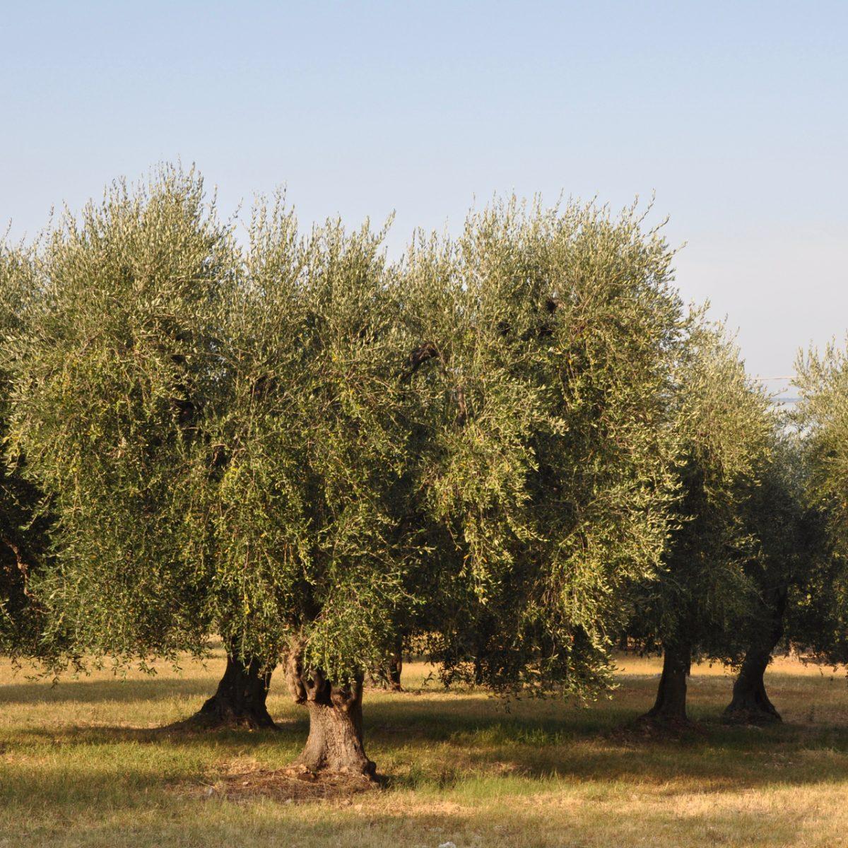 Gargano, das Land der Olivenbäume Apulien Puglia