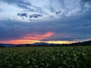 Sonnenuntergang mit Tabakfeld in Umbrien