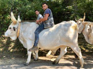 Begegnung mit Ochsen in den Dolomiti Lucane Basilikata Basilicata