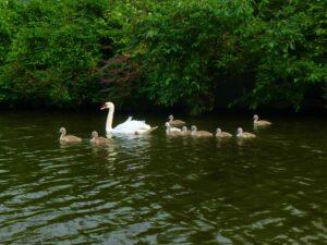 Alsterschwäne mit Jungen im Kanal