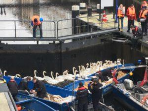 Die Alsterschwäne werden an der Rathausschleuse für das Winterlager eingesammelt
